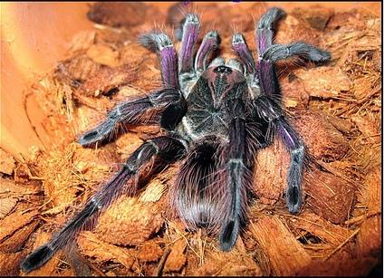 哥倫比亞紫花卉(Pamphobeteus insignis).jpg