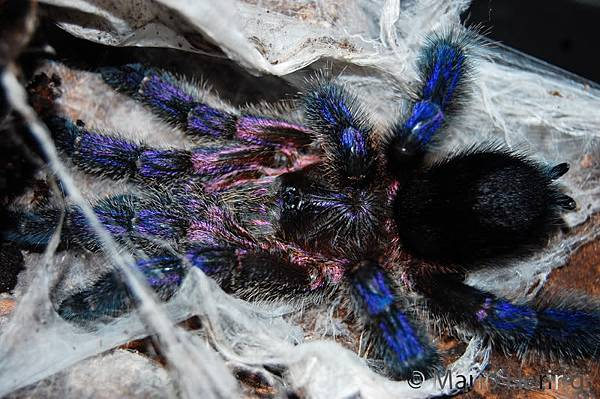 藍腿紫粉趾(Avicularia spec. Ecuador).jpg