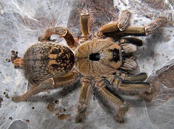 南非小角巴布(Ceratogyrus sanderi).jpg