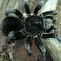玻利維亞鋼鐵藍(Pamphobeteus antinous).jpg