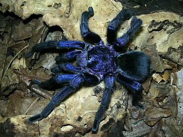 海地咖啡藍色種(Phormictopus cancerides blue).jpg
