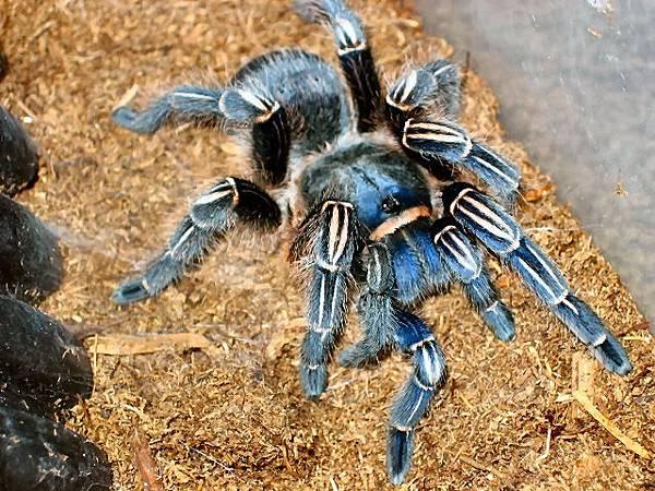 哥斯大黎加斑馬腳藍色型(Aphonopelma seemanni blue).jpg