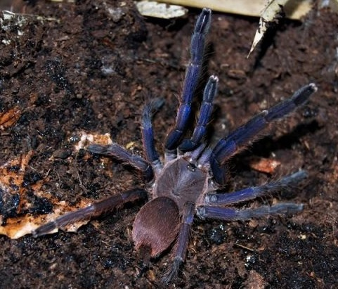 越南雲腳(Chilobrachys sp blue vietnam).jpg