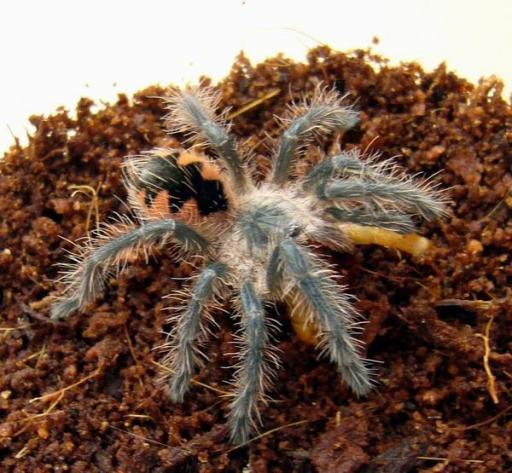 馬查拉鋼鐵藍(pamphobeteus sp machala).jpeg
