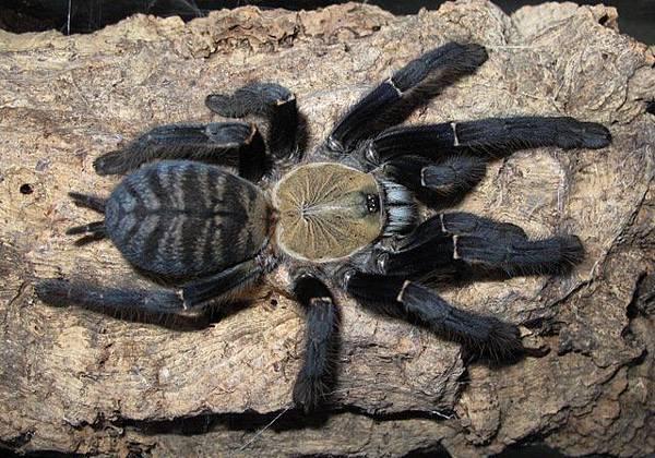 Cyriopagopus sp Sumatra Tiger蘇門答臘地老虎.jpeg