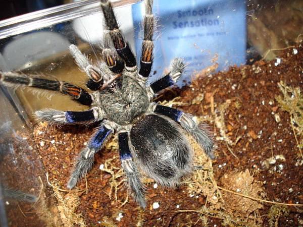 Euathlus pulcherrimaklaasi智利藍腿美人_2.JPG