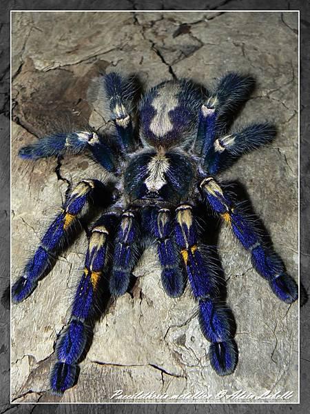 Poecilotheria metallica藍寶石華麗雨林-2.jpg