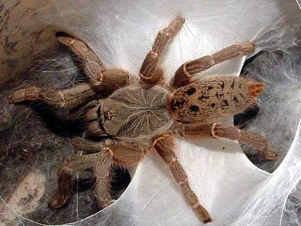 Pterinochilus lugardi坦尚尼亞灰星巴布.jpg