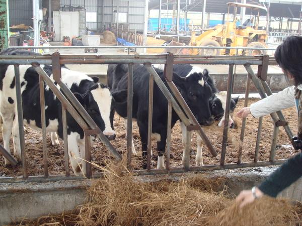 裡面有養乳牛哦