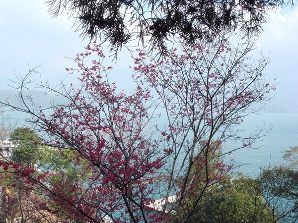 櫻花+湖景