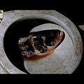馬桶裡的魚頭