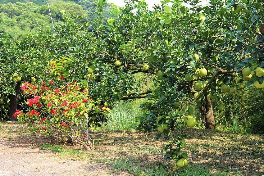 柚子的故鄉 - 西湖