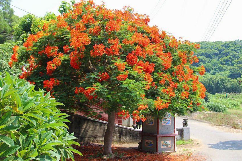土地公廟旁的鳳凰花
