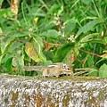 台灣條紋松鼠