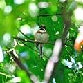 紅頭山雀(小叮噹)