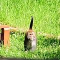 流氓的獼猴
