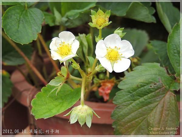 20120610草莓花