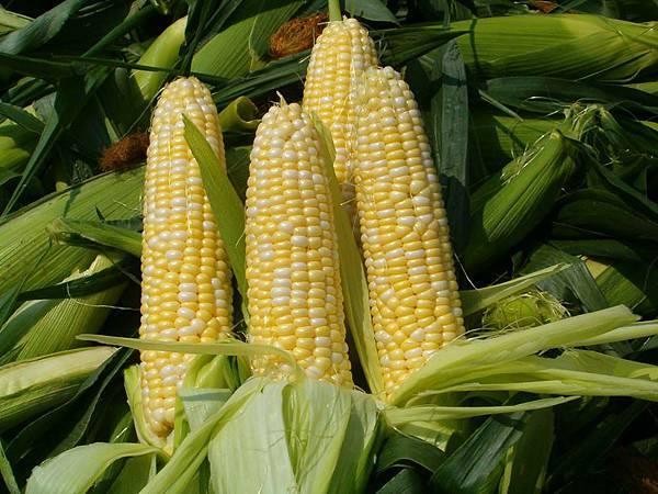 Genetically modified corn.jpg