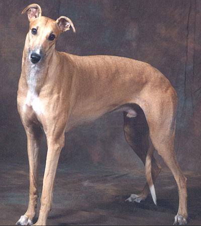 greyhound_h05