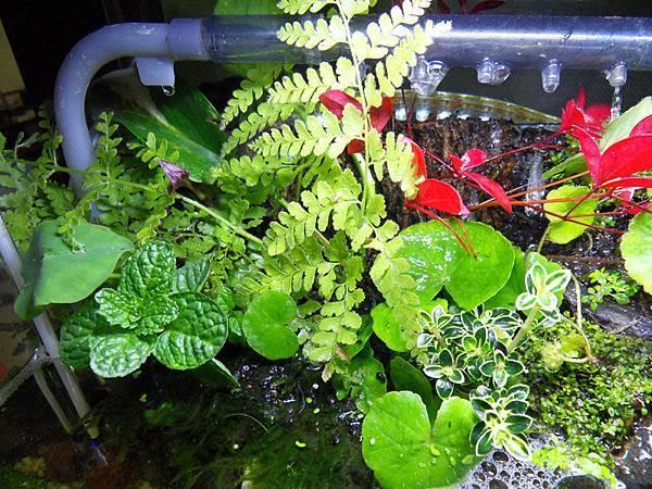 01_一尺多水性植物