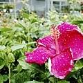 2014-06-15台北花卉村054.jpg