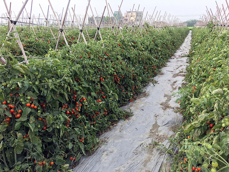 2017-05-06採番茄007.jpg
