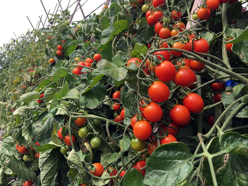 2017-05-06採番茄019.jpg