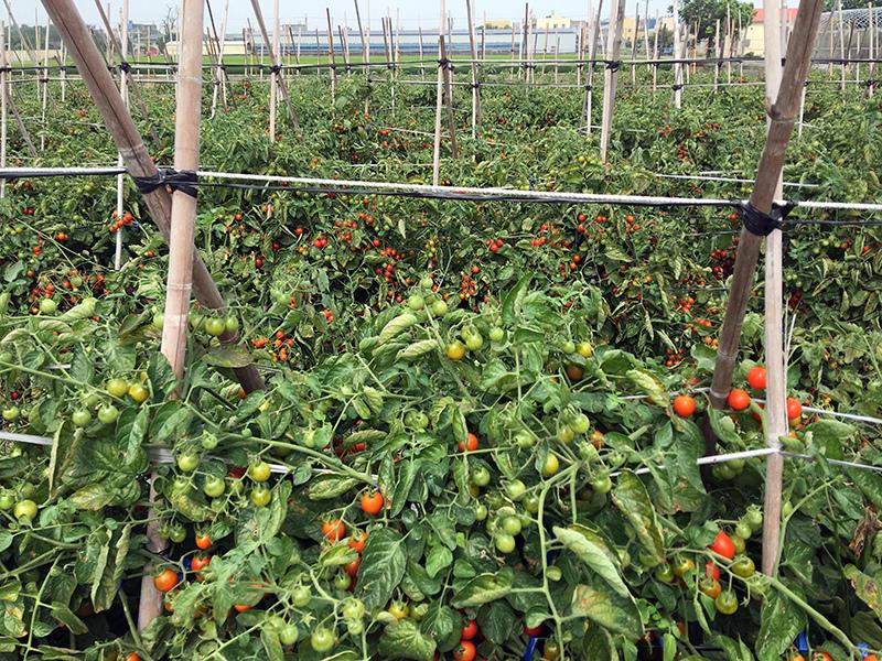 2017-05-06採番茄018.jpg