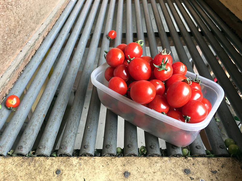 2017-05-06採番茄039.jpg