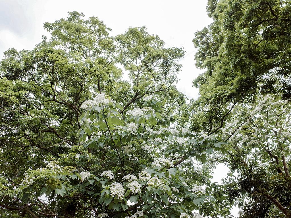 2019-05-05桐花公園-火焰山051.jpg