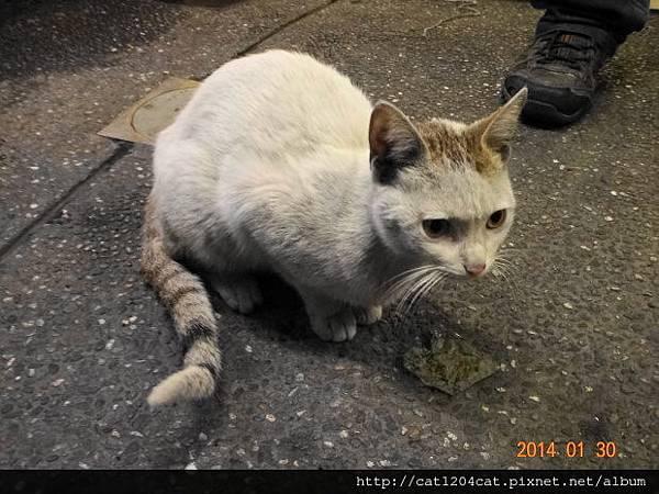 竹笙林-店貓.JPG