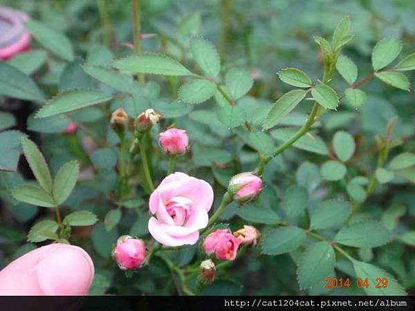 蘿莎玫瑰山莊3.JPG