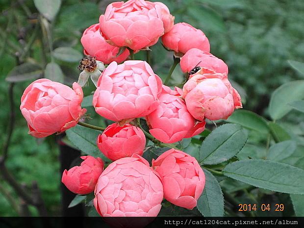 蘿莎玫瑰山莊5.JPG