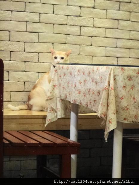 日光貓-店貓.JPG