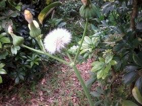 笑到投降的花