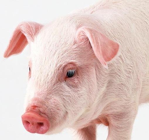 可愛的小豬