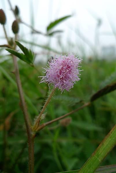 含羞草的花.JPG