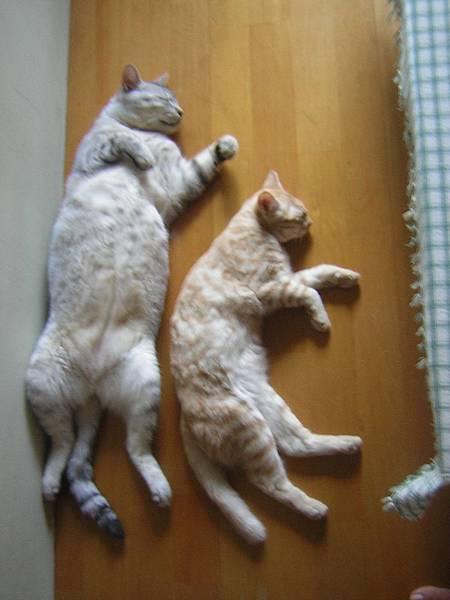 兩隻貓睡昏在和室裡.jpg