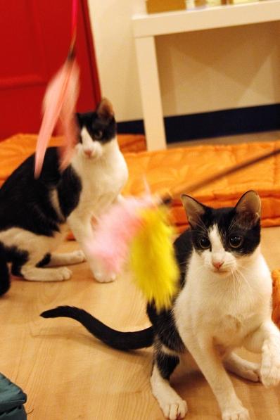 小雙貓玩耍1 1.jpg