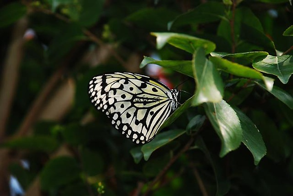 008意外拍到前一天標放的大白斑蝶.JPG