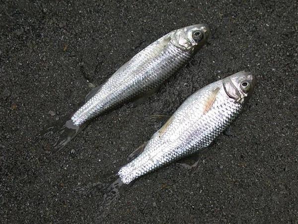 Dscn8520固魚&高身固魚 (Small).JPG