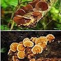 菇蕈類.jpg