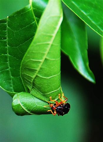 捲葉象鼻蟲.jpg