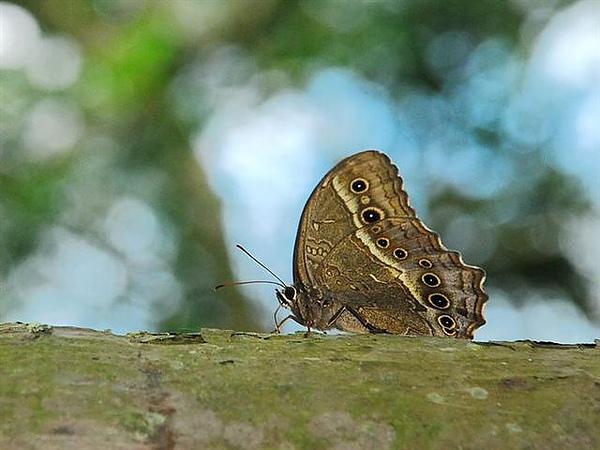 黃斑蔭蝶.jpg