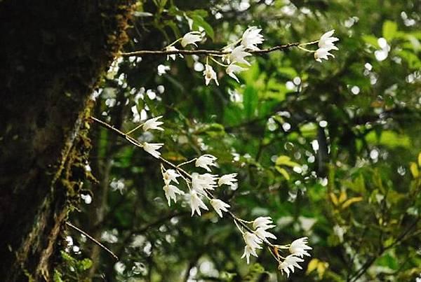 石斛蘭 (Small).JPG