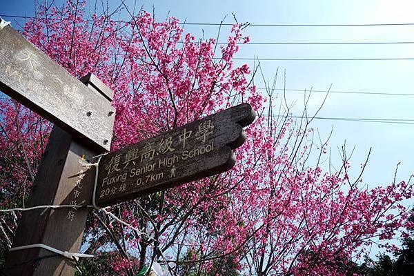 復興三路櫻花
