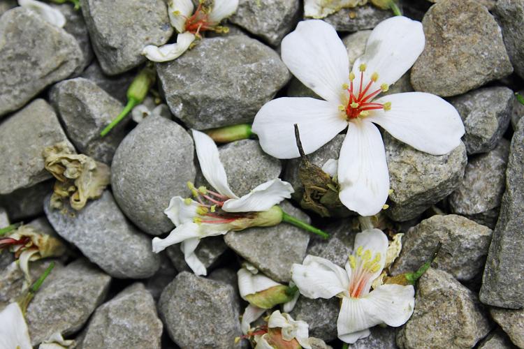 彰化芬園挑水古道桐花