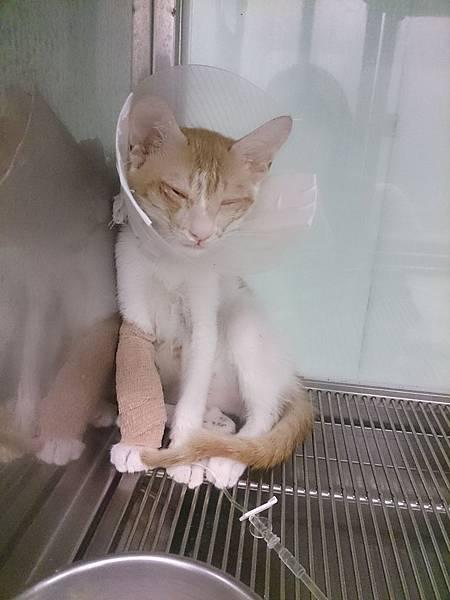 新屋貓舍_1040725_0(就醫貓)嚴重上呼吸道感染+無法自行進食_1.jpg