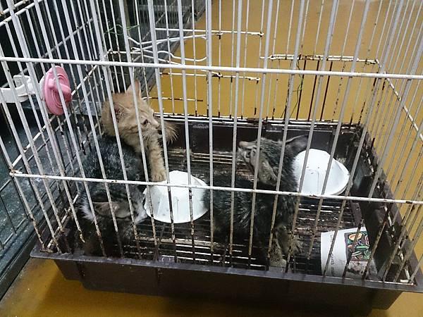 新屋貓舍_1041003_1_被向陽農場丟來的貓_入1041003_已被認養.jpg