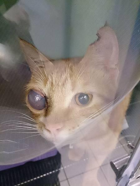 新屋貓舍_1041114_0_就醫貓_01_動物編號20151110-022_右眼球腫脹.jpg